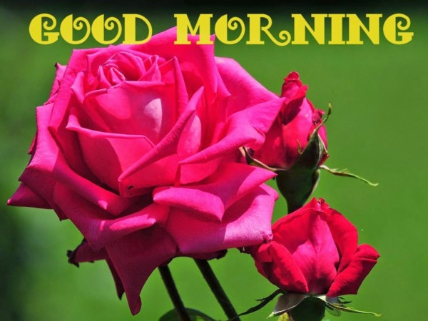 Beautiful Fresh Rose- Good Morning-wm13006
