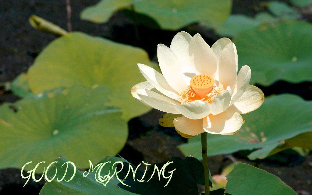Good morning with amazing lotus flower mightylinksfo