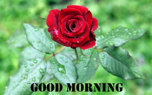Good Morning With Beautiful Red Rose-wm13066