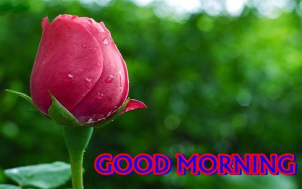 Good Morning With Pink Rose-wm13086