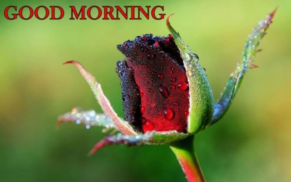 Good Morning With Rose Bud-wm13095