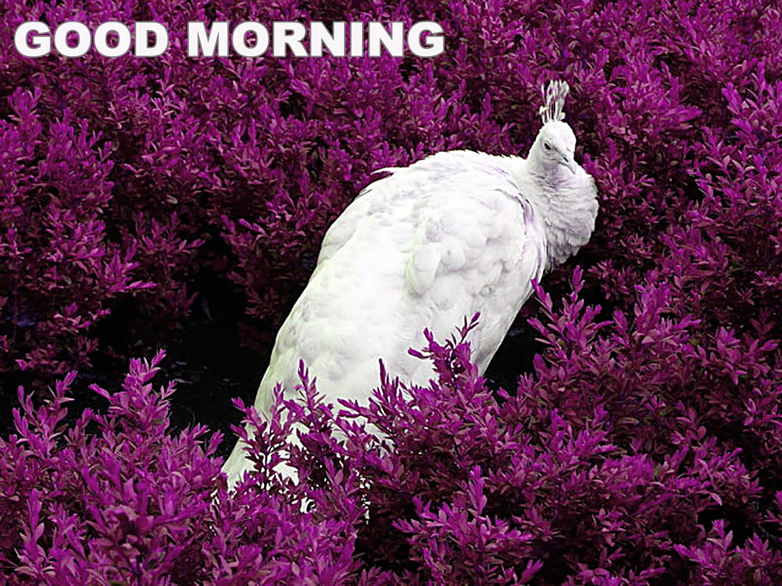 Good Morning Boyfriend In French : Good morning with white peacock