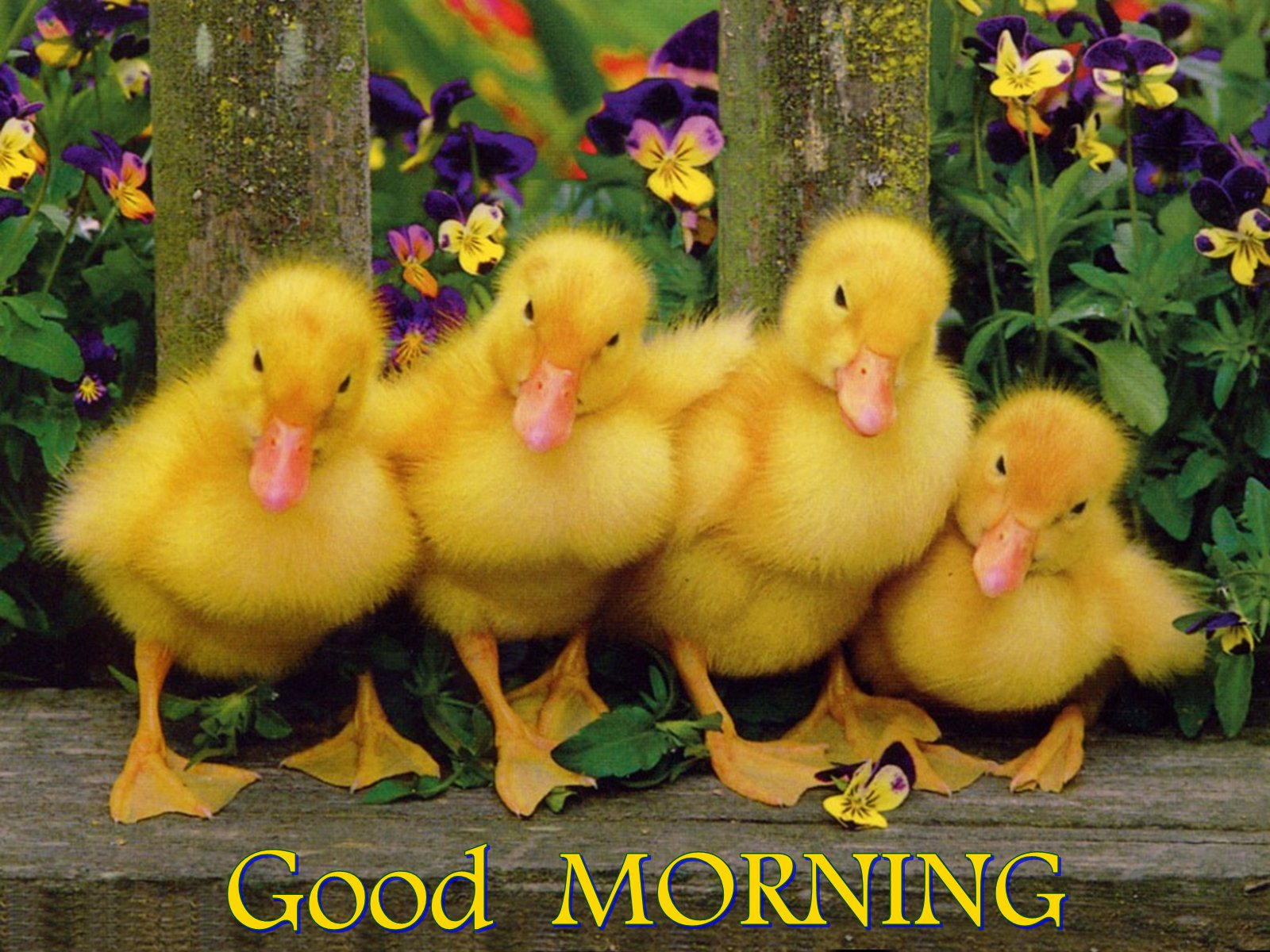 Image result for good morning duck images