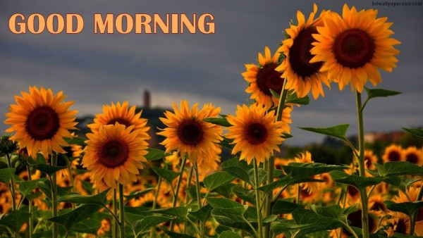 Mornig Wish With Sunflowers-wm13121