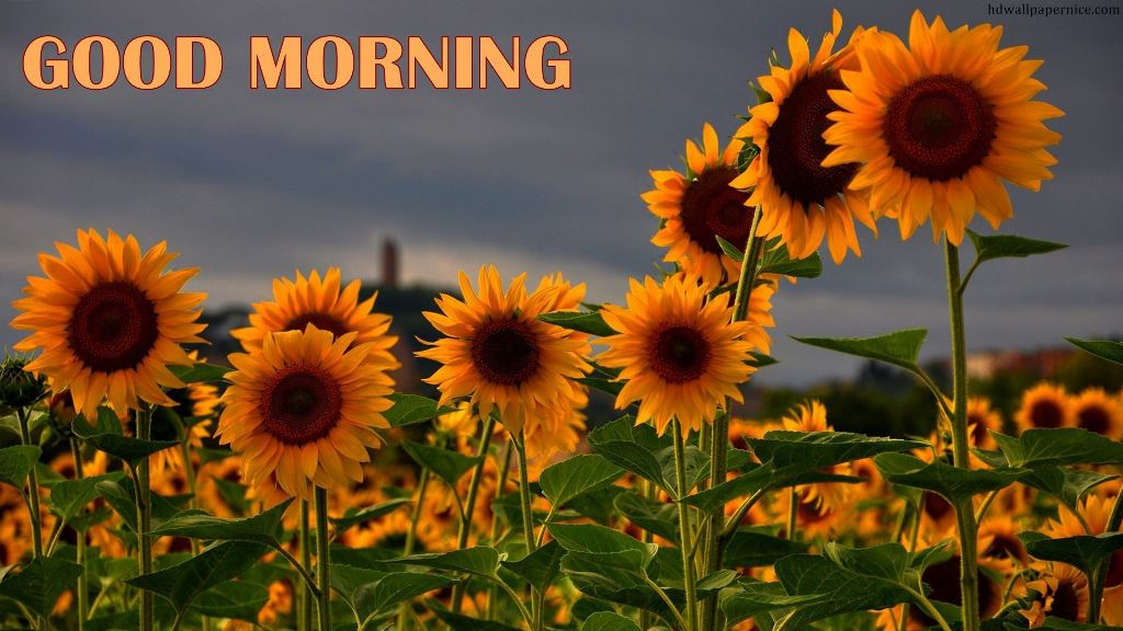 Morning Wish With Sunflowers