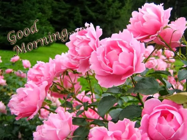 Good morning beautiful pink roses image - Good morning rose image ...