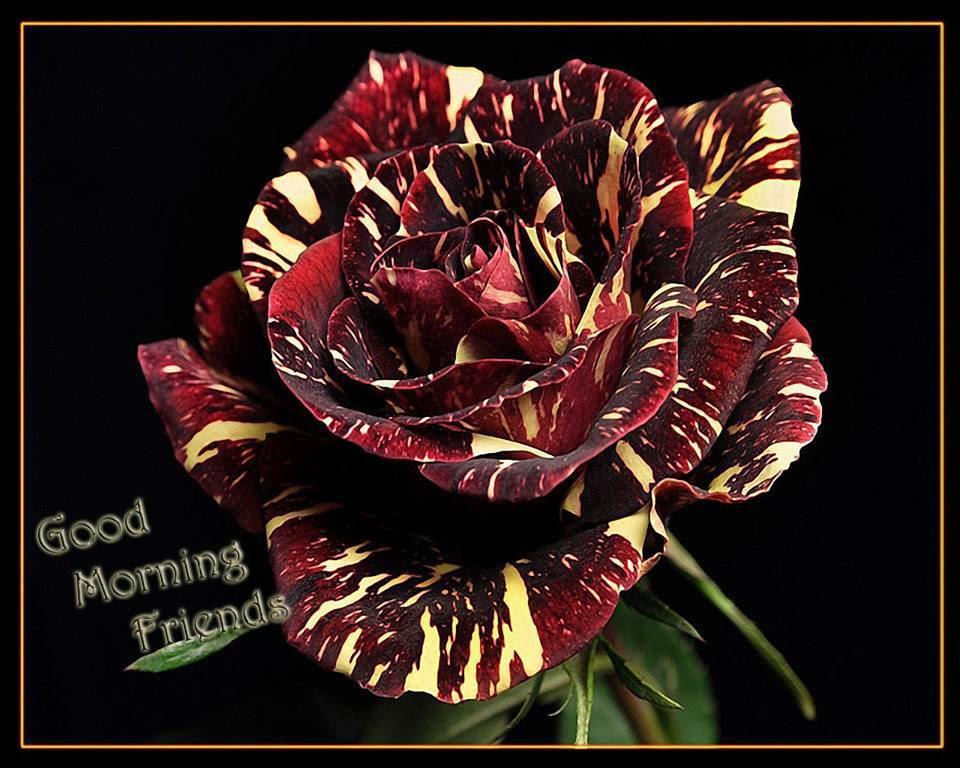 Good Morning Friends Amazing Rose Image