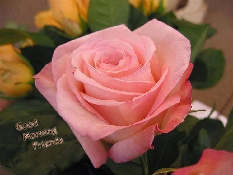 Good morning friends pink rose image - Good morning rose image ...