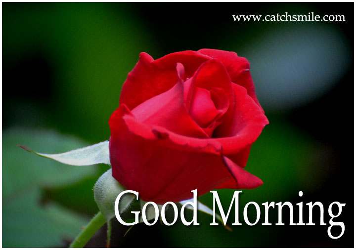 Good Morning Beautiful Red Rose Image : Gud morning pics with red roses impremedia