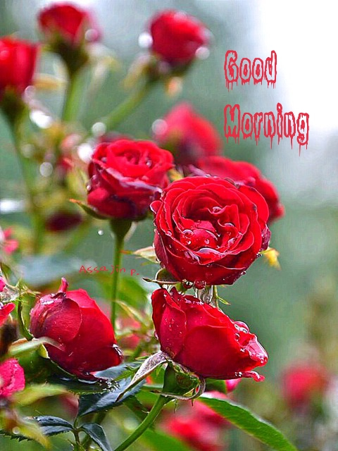 Good Morning Sunday Rose : Good morning wishes with flowers pictures images page