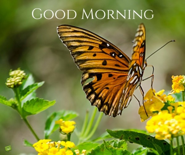 Good Morning With Brown Butterfly-wg01739