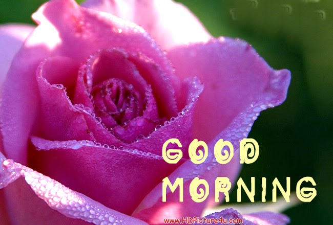 Lovely Morning With Pink Rose