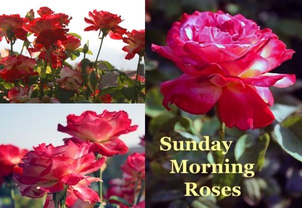 Sunday Morning Roses-wg0734