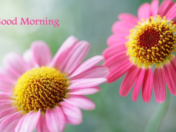 Beautiful Pink Flowers - Good Morning-wg16043