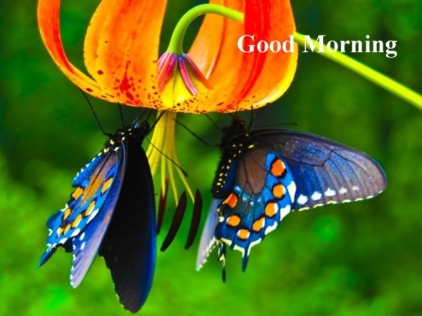 Good Morning - Beautiful Butterfly-wg16144