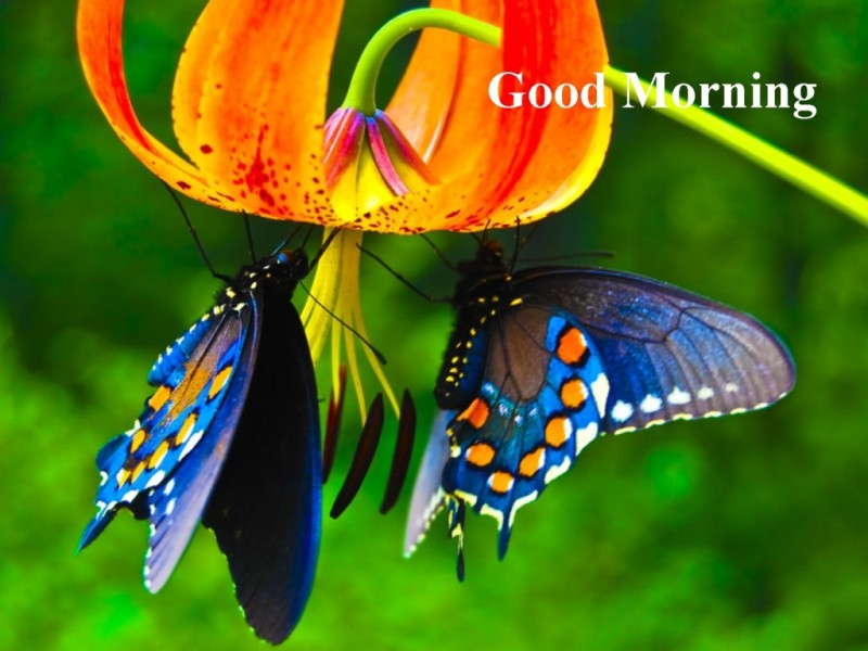 Good Morning Beautiful Butterfly