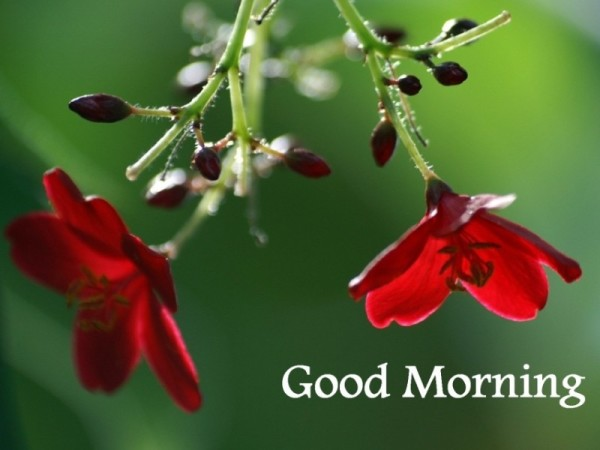 Good Morning - Beautiful Red Flowers-wg16146