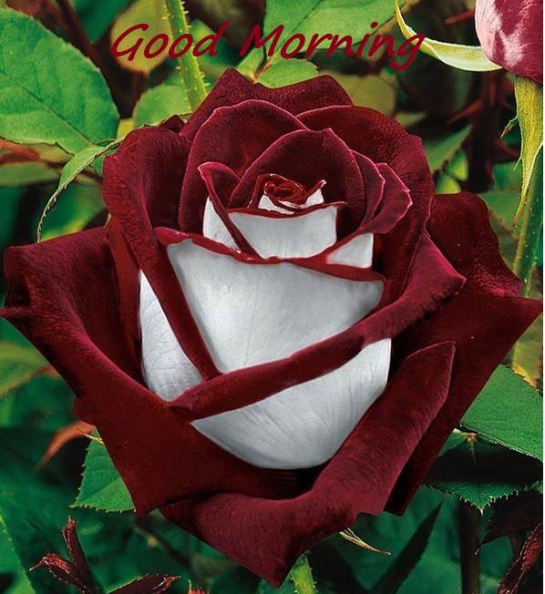 Good Morning- Brown Rose-wg16244