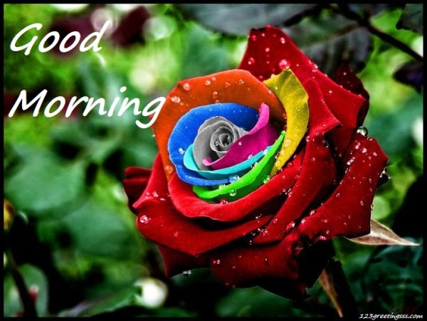 Good Morning - Colorful Rose !-wg16164