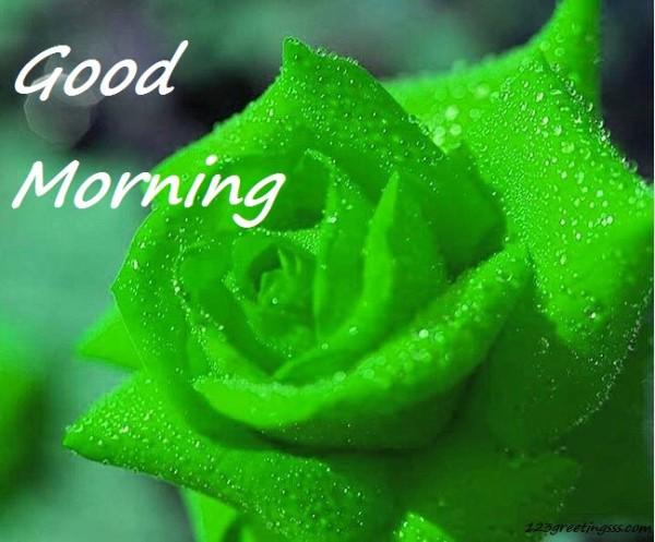 Good Morning - Green Rose-wg16179