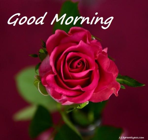 Good Morning - Pink Rose-wg16213
