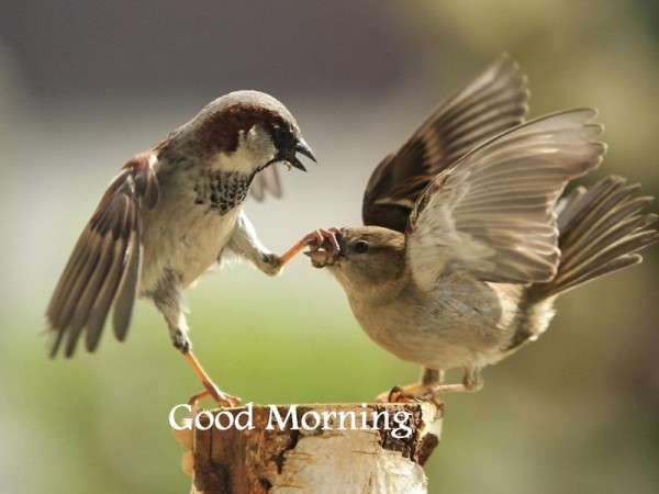 Good Morning - Playing Birds-wg16214