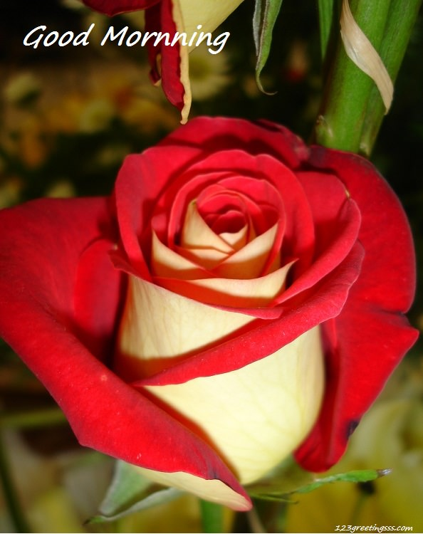 Good Morning - Red Rose-wg16219