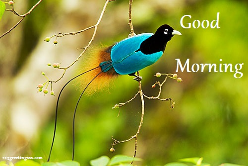 Morning - Blue Bird-wg16520