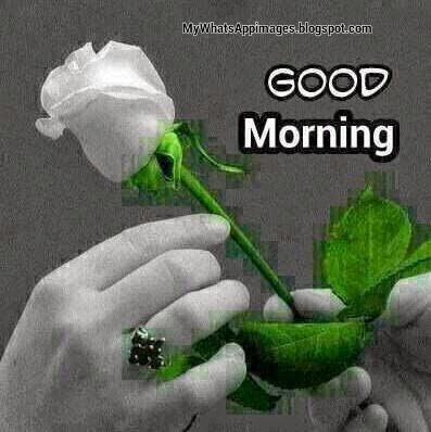 Morning Rose For You-wg16590