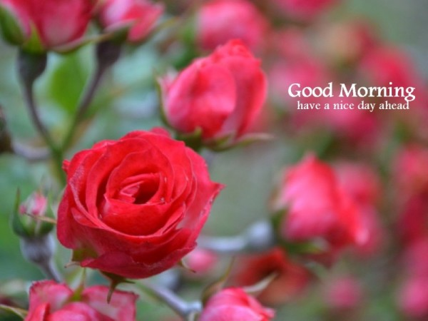 Morning With Natural Rose-wg16616