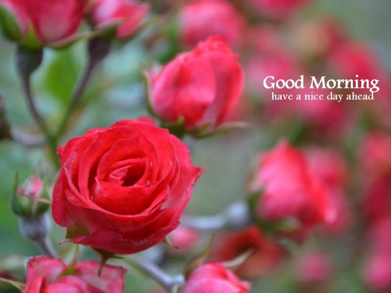 Natural Images Rose