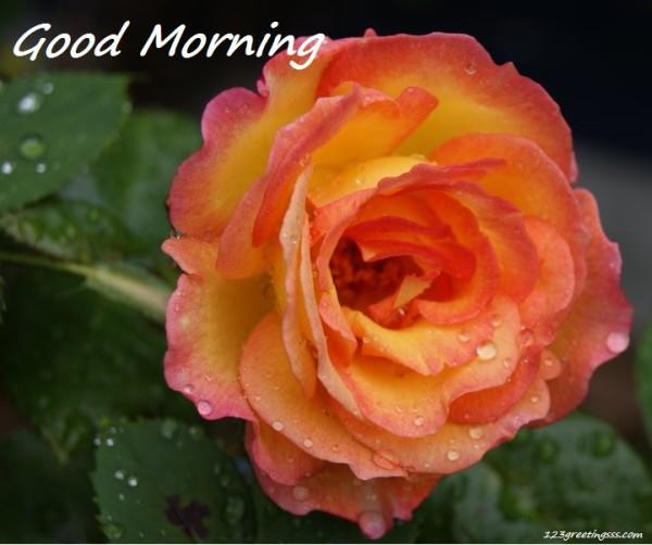 Sweet Rose Specaily For U - Good Morning-wg16729